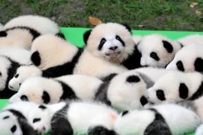23 ossos panda