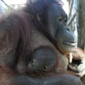 Nova cria d'orangutan, Hadiah
