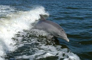Un dofí mular fent un saltiró. (Foto: wikipedia.org)