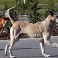 gossos de carrer