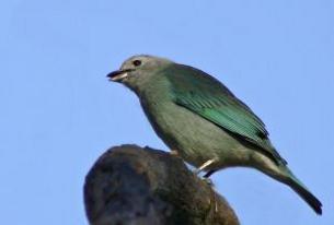ocell1
