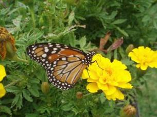papallona1