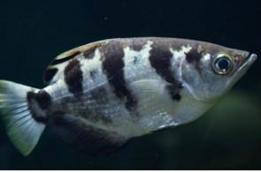 peix arquer