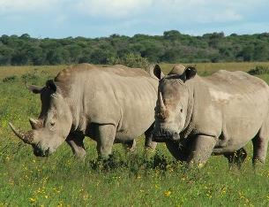 Els rinoceronts són uns mamífers molt voluminosos. (Foto: muyinteresante.es)