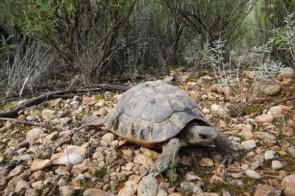 tortugues-reintroduides