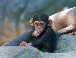 Els ximpanzés no cooperen igual que ho fan els nens. (Foto: bolsonweb.com.ar)